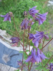 columbine dark purple Carolyns back door 5.2012