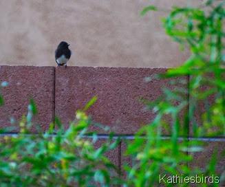13. black phoebe-kab