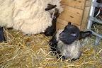 CU ewe nuzzle lamb (andritter) - Compress.JPG