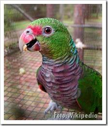 Amazona vinacea. Foto: Wikipedia