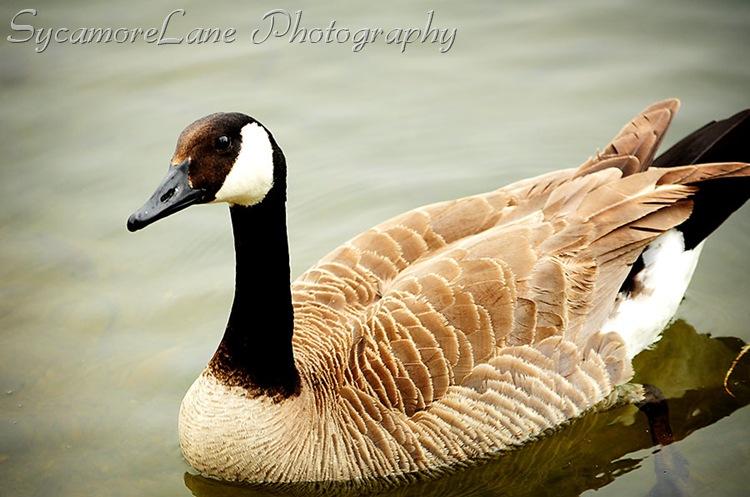 goose-w