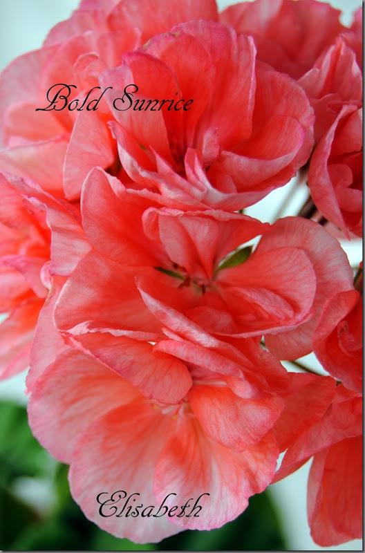 Pelargonium juni-11 233