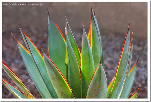110223_Agave-BlueGlow