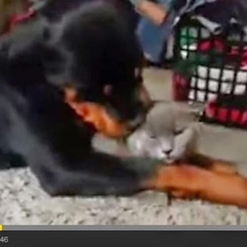 Rottweiler αγαπά τόσο πολύ μια γάτα