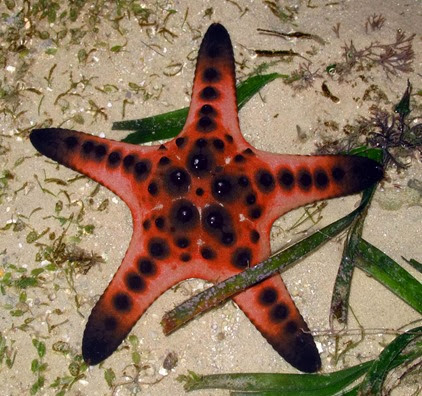 Amazing Pictures of Animals, Photo, Nature, Incredibel, Funny, Zoo, Starfish, Sea Stars, Asteroidea, Alex (17)