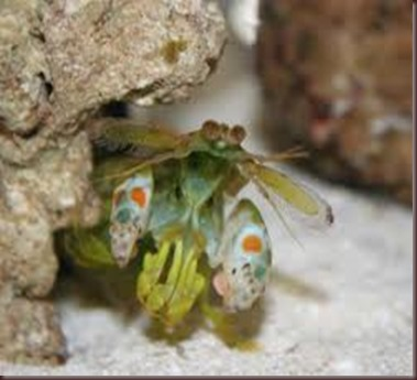 Amazing Pictures of Animals Mantis shrimp stomatopods crustaceans sea locusts (3)