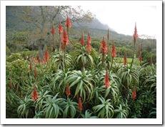 Aloe arborescens, também conhecida por babosa.Foto: Wikipedia.