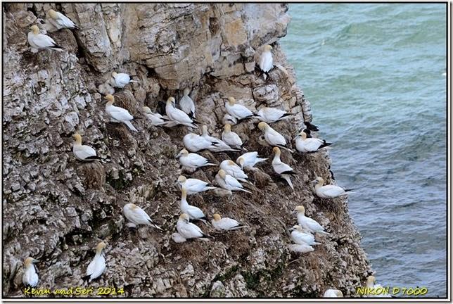 RSPB Bempton Cliffs - Summer