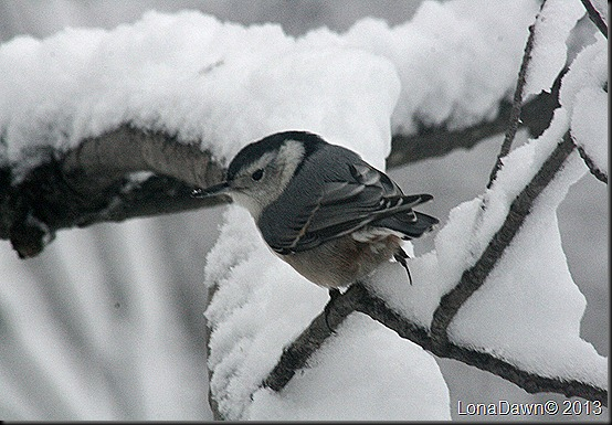 Nuthatch2_Feb