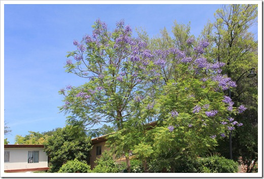 Blue jacaranda sighting in Davis