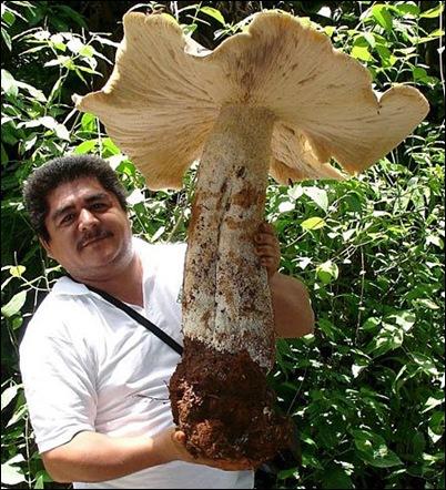 biggist fungi