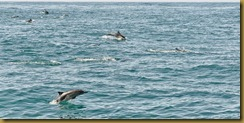 - Dolphin Pod_DSC5257seacher day 1 May 29, 2010 NIKON D300