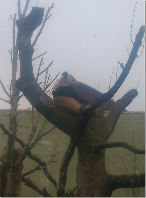 Panda chillin