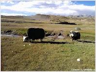 Яки. Тибет. Фото Лобанова В. www.timeteka.ru