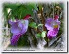 Flor papagaio da Tailandia 01