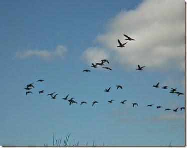 V geese