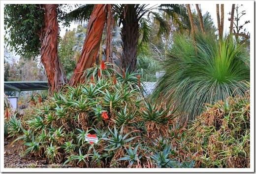 140208_RBG_Aloe-arborescens_001