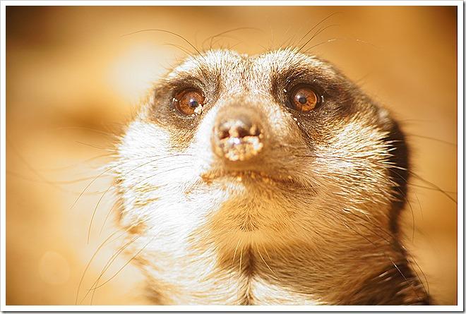 public domain meerkat pictures