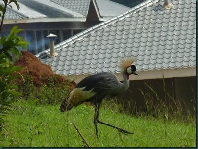 crested crane 005