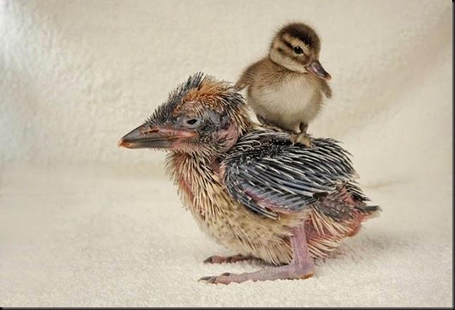 Solent Kookie & duckling 1