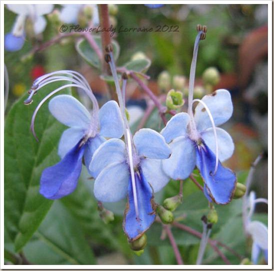12-28-blue-butterfly2