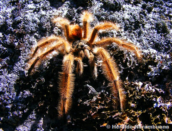 La araña pollito o tarántula chilena (Grammostola rosea)