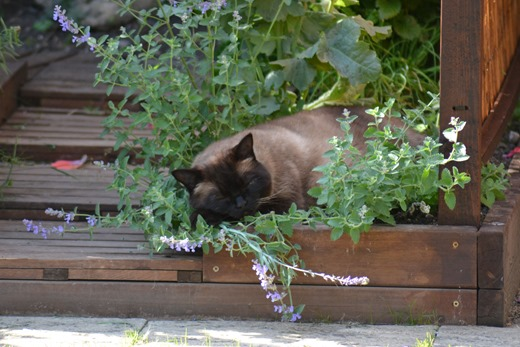 Tom cat in the cat mint 2