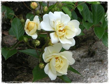 1 Rosa helenae