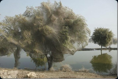 Spider cocoons in Sindh 9