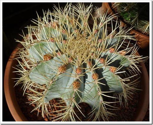 120208_CactusJungle_Ferrocactus-glaucescens_02