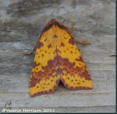 pink-barred-sallow