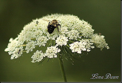 CH_QueensAnneLace_Bumblebee
