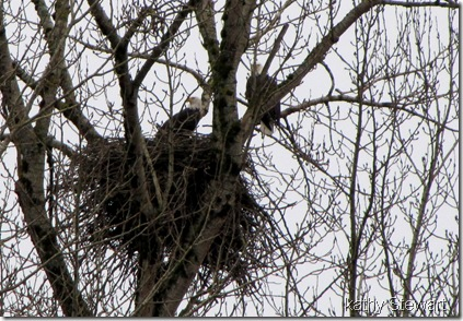 Eagles working on their nest