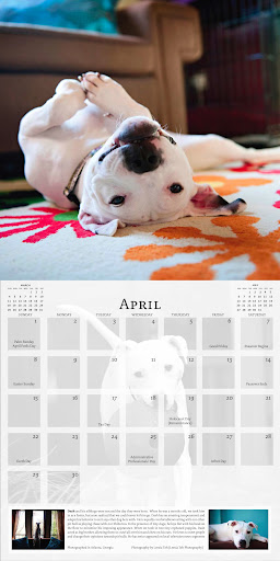 The Unexpected Pit Bull Calendar has no shortage of kiss-a-bull images and information! Photo of Dash by Leesia Teh
