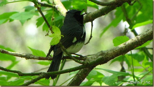 Black-throated Blue warbler (2)