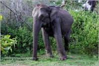 _P6A1732_wild_elephants_mudumalai_bandipur_sanctuary