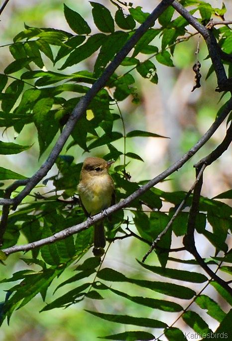 5. cordilleran flycatcher-kab