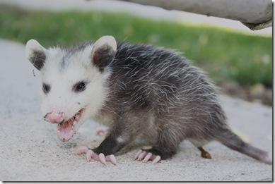 baby Possum 002