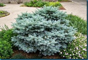 globe blue spruce 2