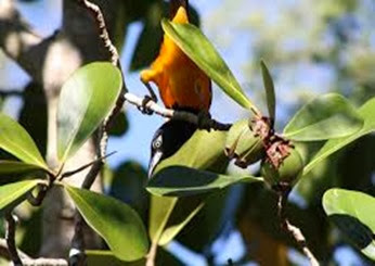 Amazing Pictures of Animals, Photo, Nature, Incredibel, Funny, Zoo, Venezuelan Troupial, Icterus icterus, Bird, Aves, Alex (11)