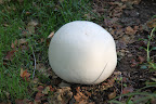 Puffballs begin growing in late summer and throughout the fall.  They grow in soil and on decaying wood.
