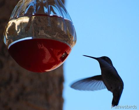 7. humminngbird-kab