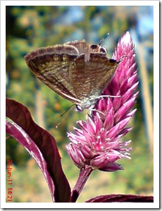 The Peablue, Pea Blue, or Long-tailed Blue (Lampides boeticus) 4