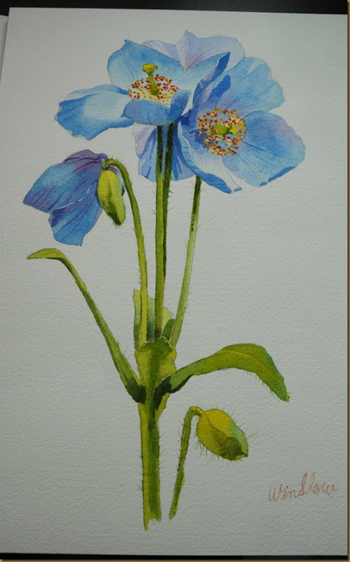 blue poppy(web)
