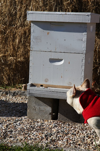 Therefore, they remain inside their hives, forming a winter cluster, which means they get into a big huddle to keep themselves warm.  Of course, the important queen bee is in the middle of the huddle.
