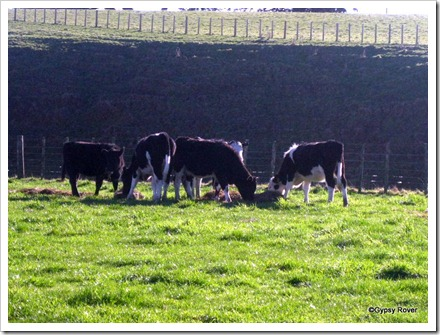 Tucking into the fodder.