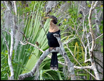 08 - Animals - Anhinga - female 2