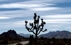 Lone Joshua Tree in Joshua Tree National Park