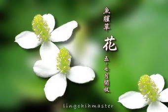 魚腥草1-花
