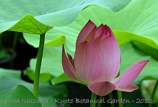 Glória Ishizaka - Flor de Lótus -  Kyoto Botanical Garden 2012 - 7